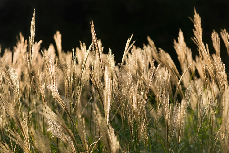 0tuftsofgrass1